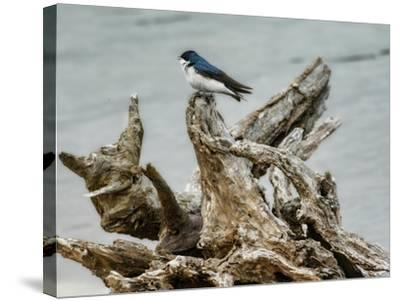 Driftwood Song-Jai Johnson-Stretched Canvas Print