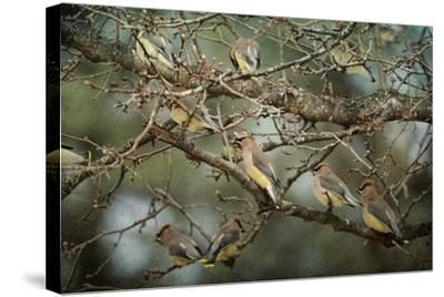 Family Reunion Cedar Wax Wings-Jai Johnson-Stretched Canvas Print