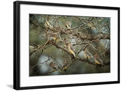 Family Reunion Cedar Wax Wings-Jai Johnson-Framed Giclee Print
