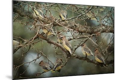 Family Reunion Cedar Wax Wings-Jai Johnson-Mounted Giclee Print
