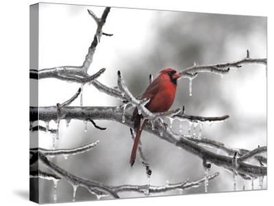 Male Cardinal Braving the Cold-Jai Johnson-Stretched Canvas Print