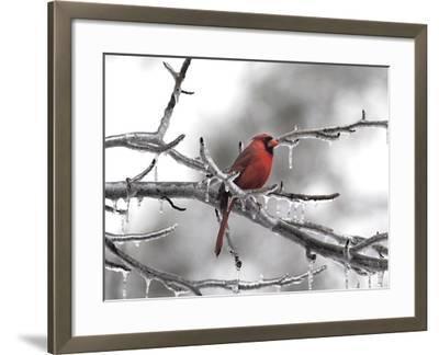 Male Cardinal Braving the Cold-Jai Johnson-Framed Giclee Print