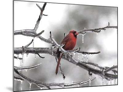 Male Cardinal Braving the Cold-Jai Johnson-Mounted Giclee Print