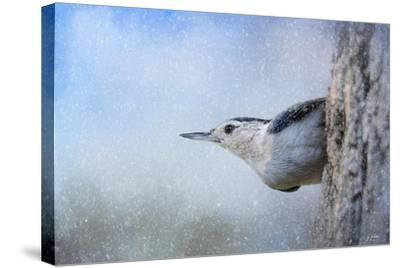 Nuthatch in the Snow-Jai Johnson-Stretched Canvas Print