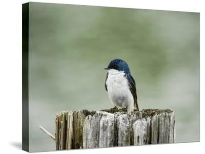 Resting Swallow-Jai Johnson-Stretched Canvas Print