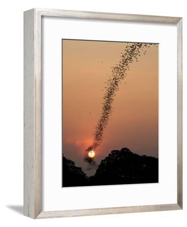Bat Swarm at Sunset-Jean De-Framed Photographic Print