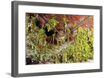 Spiny Lobster Hiding in the Reef, Nassau, the Bahamas-Stocktrek Images-Framed Photographic Print