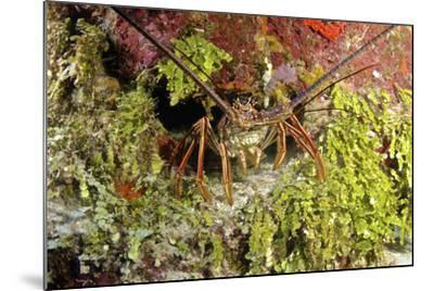 Spiny Lobster Hiding in the Reef, Nassau, the Bahamas-Stocktrek Images-Mounted Photographic Print