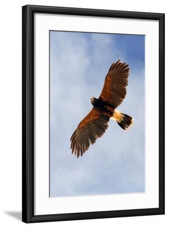 Harris Hawk, Parabuteo Unicinctus-Susan Degginger-Framed Photographic Print
