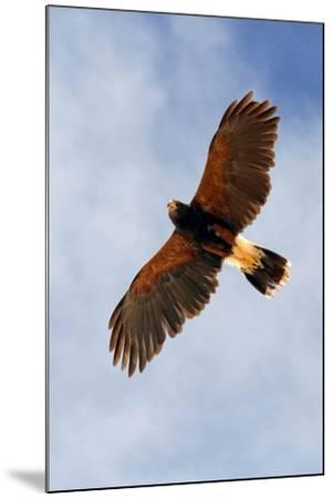 Harris Hawk, Parabuteo Unicinctus-Susan Degginger-Mounted Photographic Print