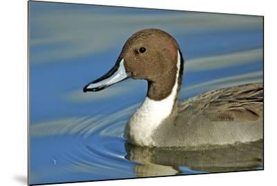 A Pintail Duck, Wide Geographic Distribution in Northern Latitudes-Richard Wright-Mounted Photographic Print