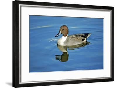 A Pintail Duck, Wide Geographic Distribution in Northern Latitudes-Richard Wright-Framed Photographic Print
