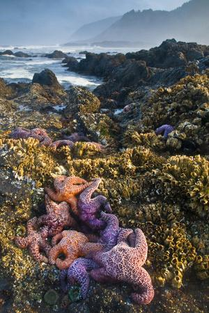 USA, Oregon. Starfish and Sea Stars at Low Morning Tide-Jaynes Gallery-Framed Photographic Print