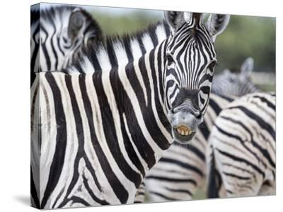 Africa, Namibia, Etosha National Park. Zebra Looking at Camera-Jaynes Gallery-Stretched Canvas Print