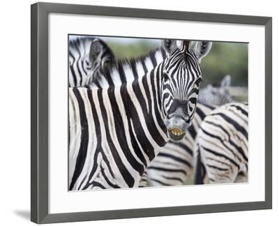 Africa, Namibia, Etosha National Park. Zebra Looking at Camera-Jaynes Gallery-Framed Photographic Print