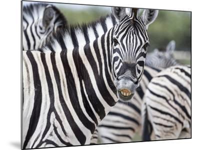 Africa, Namibia, Etosha National Park. Zebra Looking at Camera-Jaynes Gallery-Mounted Photographic Print