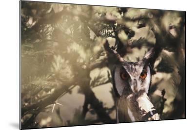 Southern Africa, Botswana, Spotted Eagle Owl, Bubo Africanus-Stuart Westmorland-Mounted Photographic Print