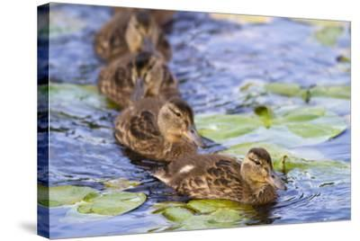 Wa, Juanita Bay Wetland, Mallard Ducklings, Anas Platyrhynchos-Jamie And Judy Wild-Stretched Canvas Print