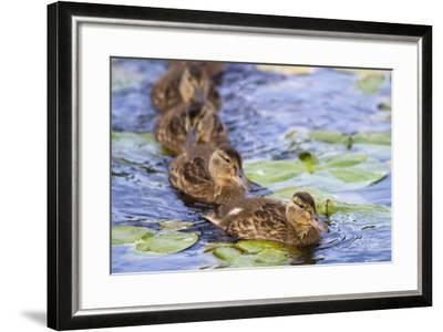 Wa, Juanita Bay Wetland, Mallard Ducklings, Anas Platyrhynchos-Jamie And Judy Wild-Framed Photographic Print