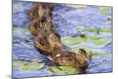 Wa, Juanita Bay Wetland, Mallard Ducklings, Anas Platyrhynchos-Jamie And Judy Wild-Mounted Photographic Print