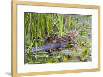 Washington, Juanita Bay Wetland, Mallard Fe Duck and Ducklings-Jamie And Judy Wild-Framed Photographic Print
