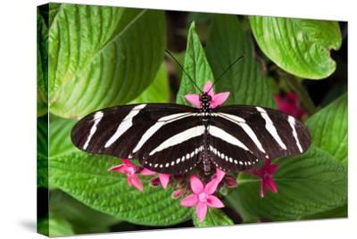 Zebra Heliconia Zebra Longwing, Heliconius Charitonius-Susan Degginger-Stretched Canvas Print