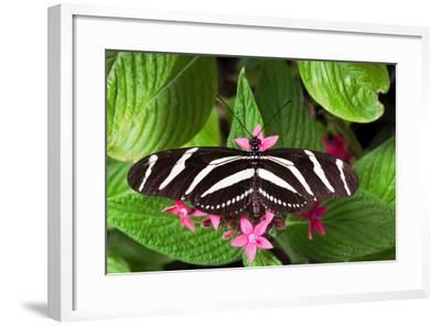 Zebra Heliconia Zebra Longwing, Heliconius Charitonius-Susan Degginger-Framed Photographic Print