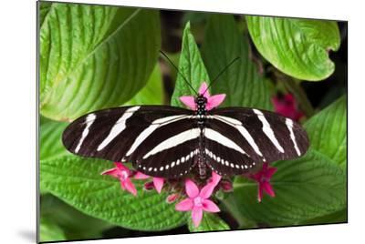 Zebra Heliconia Zebra Longwing, Heliconius Charitonius-Susan Degginger-Mounted Photographic Print