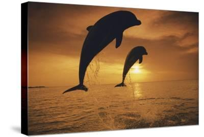 Caribbean, Bottlenose Dolphin, Tursiops Truncatus-Stuart Westmorland-Stretched Canvas Print