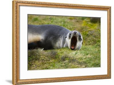 South Georgia. Stromness. Antarctic Fur Seal Pup Yawning-Inger Hogstrom-Framed Photographic Print