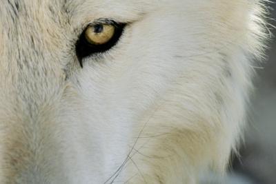 Ramah, New Mexico, United States. Wild Spirit Wolf Sanctuary-Julien McRoberts-Framed Photographic Print