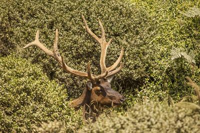 Roosevelt Elk Along the Pacific Coast at Prairie Creek Redwoods Sp-Michael Qualls-Framed Photographic Print