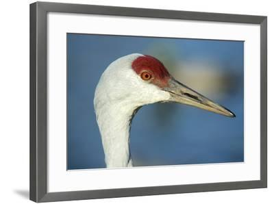 Sandhill Crane, Grus Canadensis Close Up of Head-Richard Wright-Framed Photographic Print