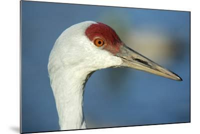 Sandhill Crane, Grus Canadensis Close Up of Head-Richard Wright-Mounted Photographic Print