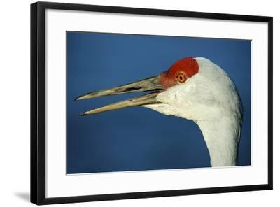 Sandhill Crane, Grus Canadensis with Beak Open in Call-Richard Wright-Framed Photographic Print