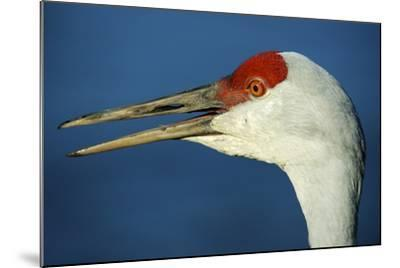 Sandhill Crane, Grus Canadensis with Beak Open in Call-Richard Wright-Mounted Photographic Print