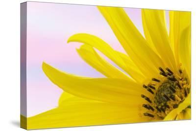 Washington. Detail of Sunflower Blossom-Jaynes Gallery-Stretched Canvas Print