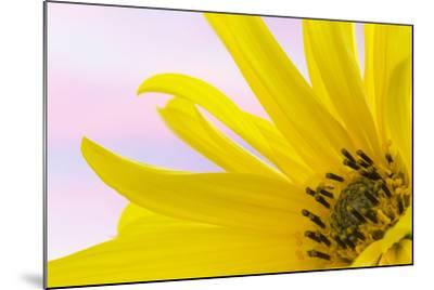 Washington. Detail of Sunflower Blossom-Jaynes Gallery-Mounted Photographic Print