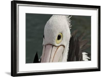 Western Australia, Albany, Oyster Harbour. Australian Pelican-Cindy Miller Hopkins-Framed Photographic Print