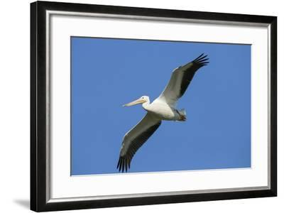 White Pelicans in Flight, Viera Wetlands, Florida-Maresa Pryor-Framed Photographic Print