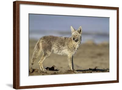 USA, Wyoming, Coyote Standing on Beach-Elizabeth Boehm-Framed Photographic Print
