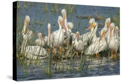 White Pelicans Resting and Preening, Viera Wetlands, Florida-Maresa Pryor-Stretched Canvas Print