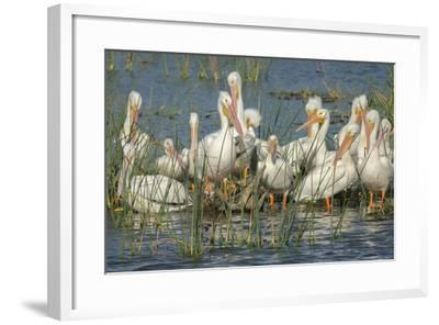 White Pelicans Resting and Preening, Viera Wetlands, Florida-Maresa Pryor-Framed Photographic Print