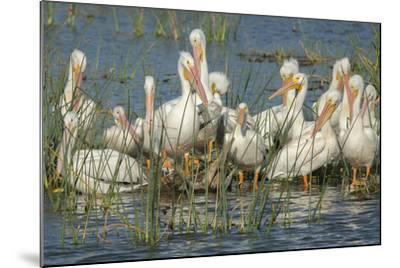 White Pelicans Resting and Preening, Viera Wetlands, Florida-Maresa Pryor-Mounted Photographic Print