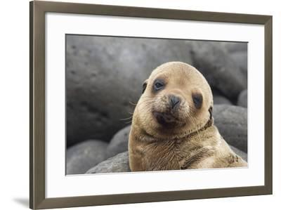 South America, Ecuador, Galapagos Islands. Portrait of Sea Lion Pup-Jaynes Gallery-Framed Photographic Print