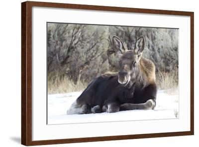 USA, Wyoming, Moose Calf Laying on Snowpack-Elizabeth Boehm-Framed Photographic Print