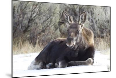 USA, Wyoming, Moose Calf Laying on Snowpack-Elizabeth Boehm-Mounted Photographic Print