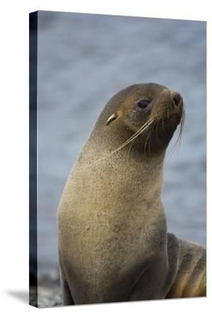 South Georgia. Antarctic Fur Seal, Arctocephalus Gazella-Inger Hogstrom-Stretched Canvas Print