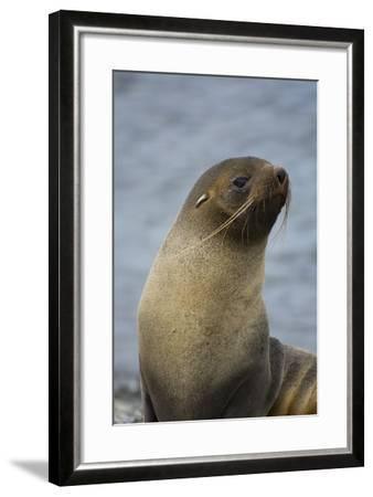 South Georgia. Antarctic Fur Seal, Arctocephalus Gazella-Inger Hogstrom-Framed Photographic Print