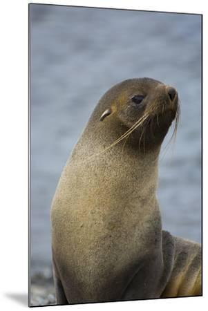 South Georgia. Antarctic Fur Seal, Arctocephalus Gazella-Inger Hogstrom-Mounted Photographic Print